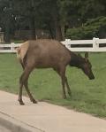 8-9-19 Elk